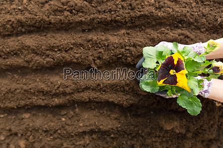 gardener woman planting flower in the