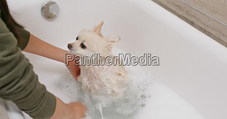 pomeranian dog take bath