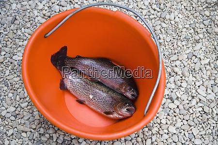 rainbow trout in bucket