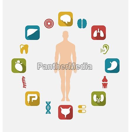 illustration infographic of internal human organs