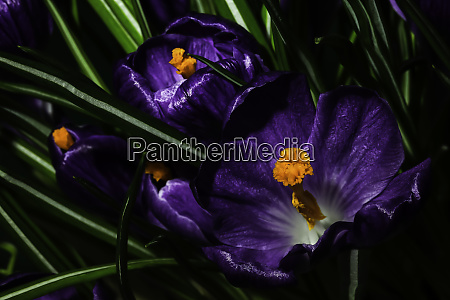 a bouquet of purple crocuses with