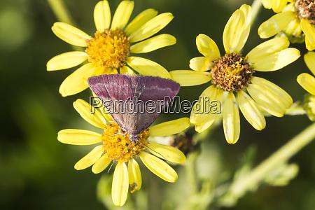 small purple barred phytometria viridaria