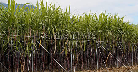sugar cane meadow