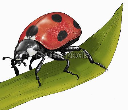 illustration of ladybird