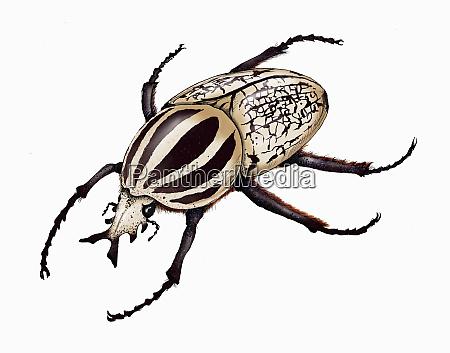 illustration of goliath beetle