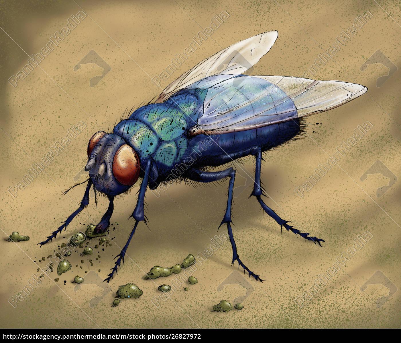 illustration, of, bluebottle, fly, eating - 26827972