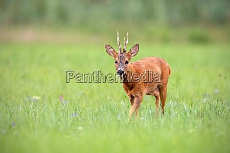 roe deer buck walking along a