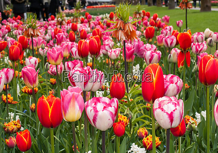 colorful tulips flowers blooming in a