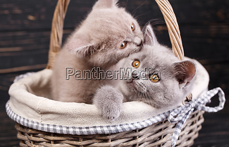 scottish straight kittens professional photography purebred