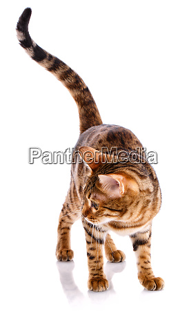 cat bengal breed