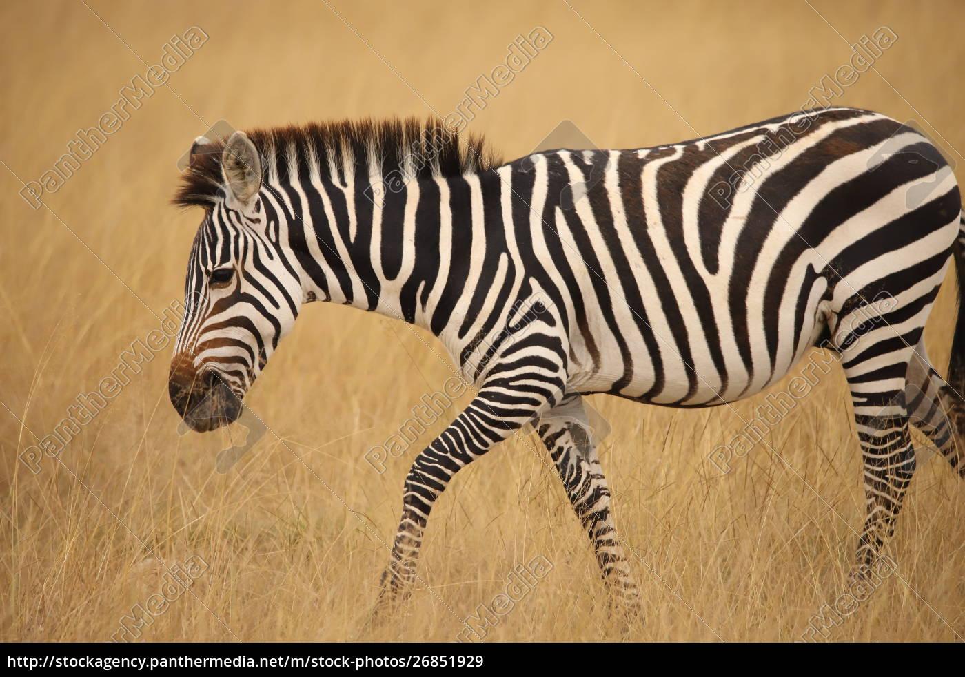close, up, of, a, zebra, in - 26851929
