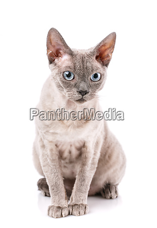 devon rex breed cat sits on