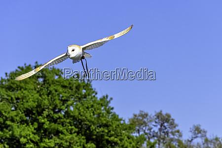 flying common barn owl tyto
