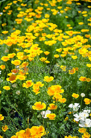 california poppy flowers eschscholzia californica