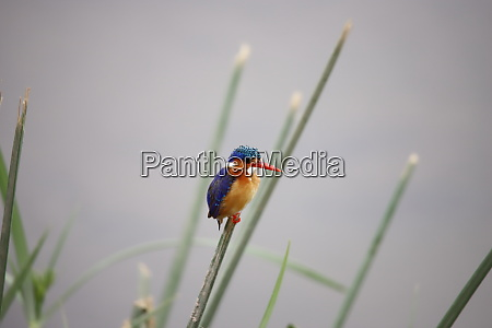 malachite kingfisher in amboseli national park