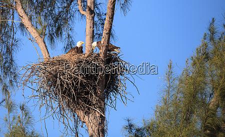 family of two bald eagle haliaeetus