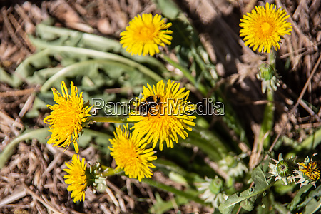 dandelion flowers are visited by insects