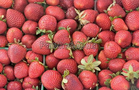 crop of strawberries