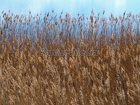 golden reeds and bulrushes blowing in