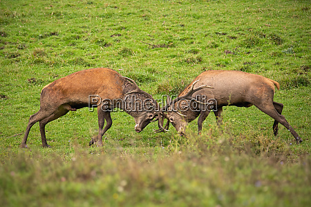 red deer cervus elaphus fight during