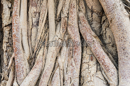 old tree roots background
