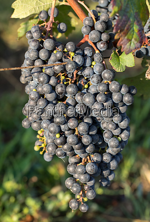 close up of red merlot grapes