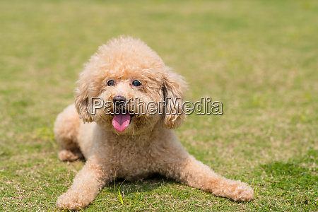 dog poodle lying down on the