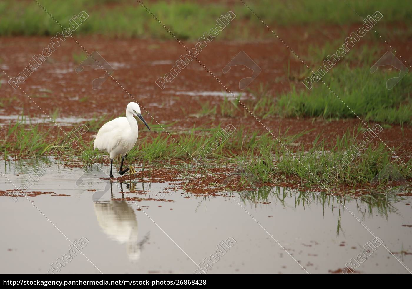 little, egret, at, a, water, - 26868428