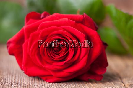 closeup of a beautiful red rose