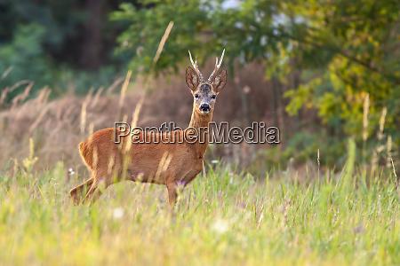 roe deer buck in summer on