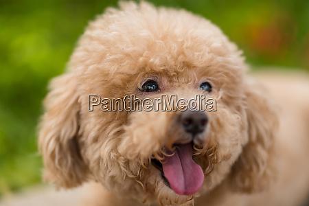 cute dog poodle