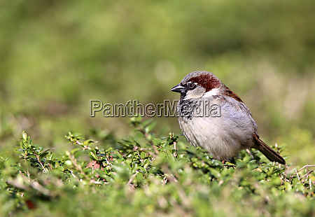 house sperling passer domesticus male sits