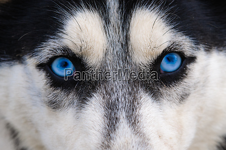 staring and evil wolf eyes blue