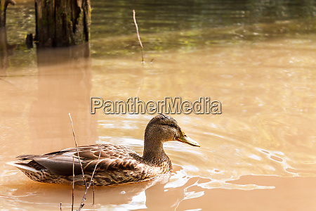 one brown duck swims in the