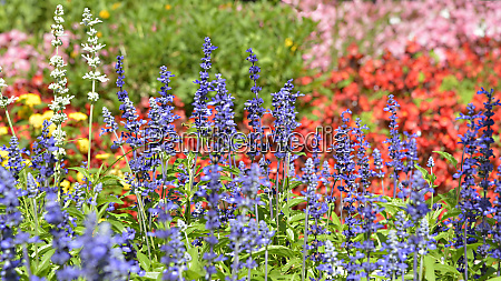 flower bed of blue salvia