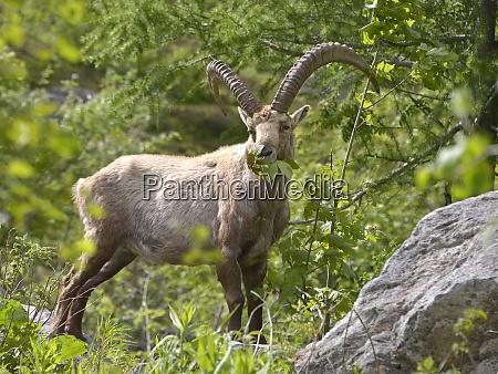 alpine ibex eating leaves