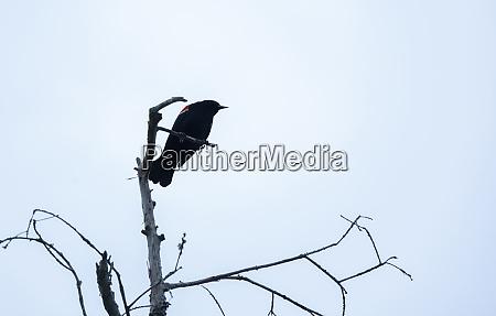 gloomy red winged blackbird