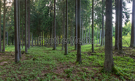 rich coniferous forest in sunset