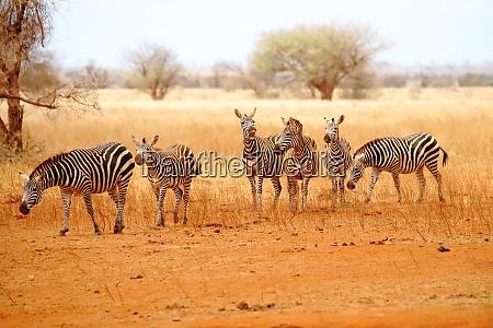 six zebras in the wide wilderness