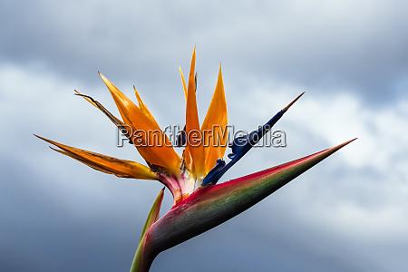 bird of paradise flower in funchal