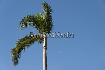single palm tree with moon and