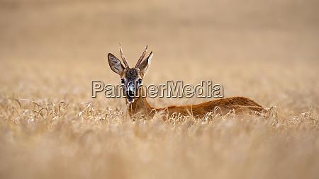 roe deer buck standing out in