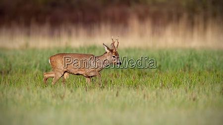 roe deer buck in winter coat