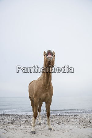 brown horse neighing on beach