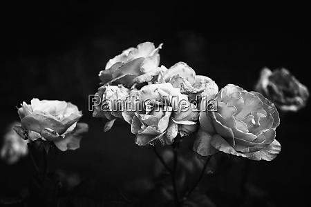 black and white decaying roses