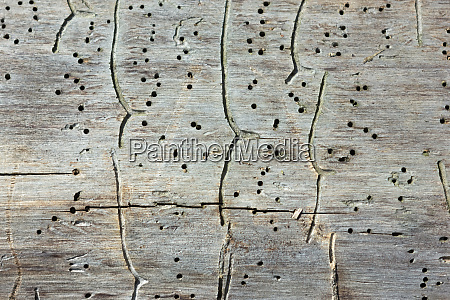 traces of bark beetles on an