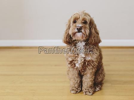 a cockapoo mixed breed dog a