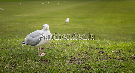 gulls wandering on the lawn in