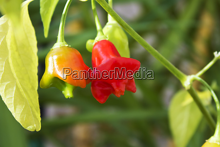 chili bell pepper bishops crown