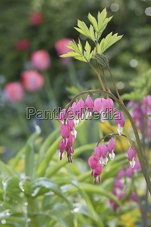 lyre flower in garden